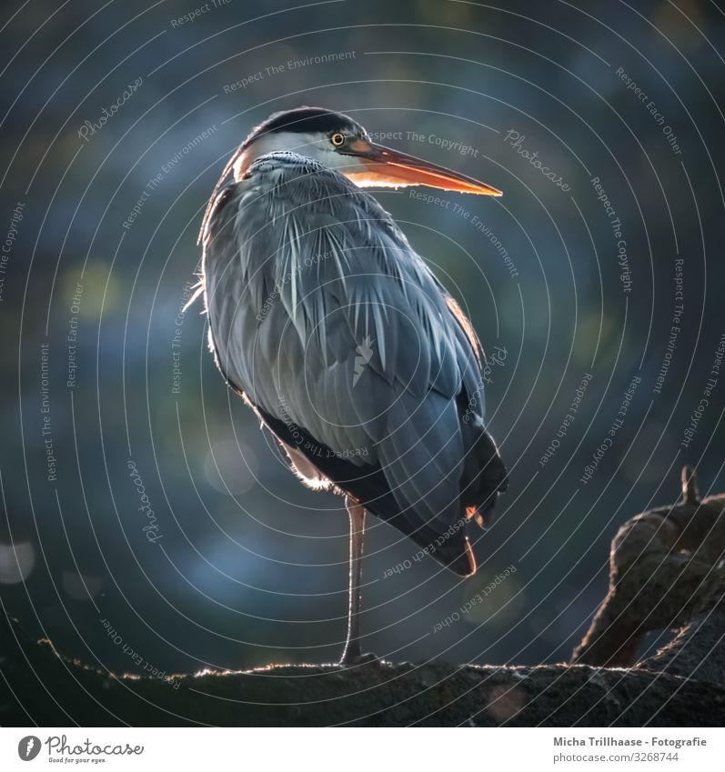 Reiher im Gegenlicht Natur Tier Sonnenlicht Schönes Wetter Baum Seeufer Wildtier Vogel Tiergesicht Flügel Krallen Graureiher Kopf Schnabel Auge Feder gefiedert