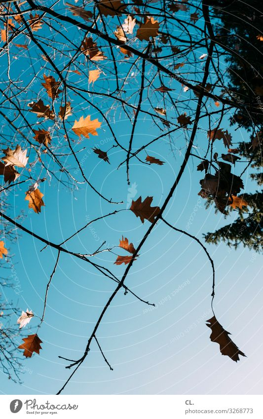 blick nach oben Himmel Natur Baum Blatt Herbst Umwelt ästhetisch Schönes Wetter Wolkenloser Himmel