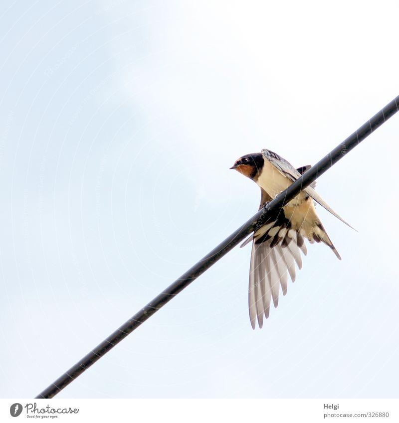 eine Schwalbe... Himmel Wolken Frühling Schönes Wetter Tier Wildtier Vogel Schwalben 1 beobachten Blick warten ästhetisch authentisch einfach klein natürlich