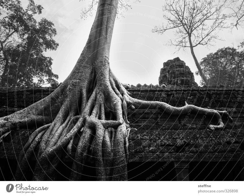 ROOTS ROOF OOF Baum Umwelt außergewöhnlich ästhetisch Asien Wahrzeichen Sehenswürdigkeit Ruine Wurzel Tempel Kambodscha Angkor Wat Ta Prohm Tempel Siem Reap
