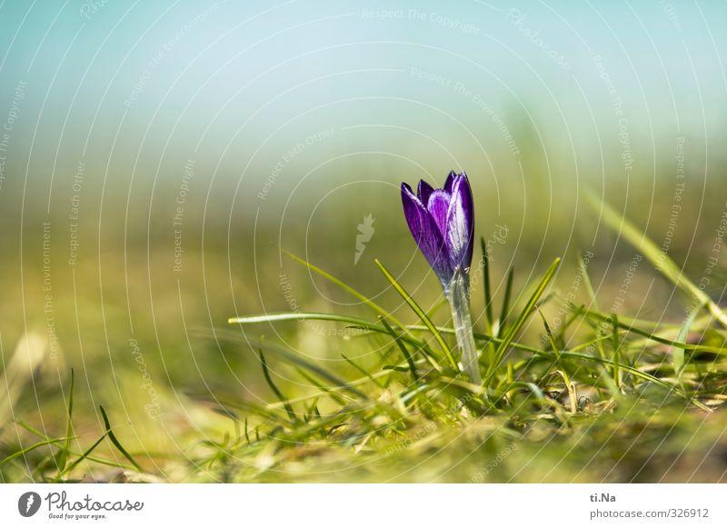 alles muss raus Pflanze Tier Frühling Schönes Wetter Blatt Blüte Krokusse Garten Park Blühend Duft verblüht Wachstum elegant frisch Gesundheit schön natürlich