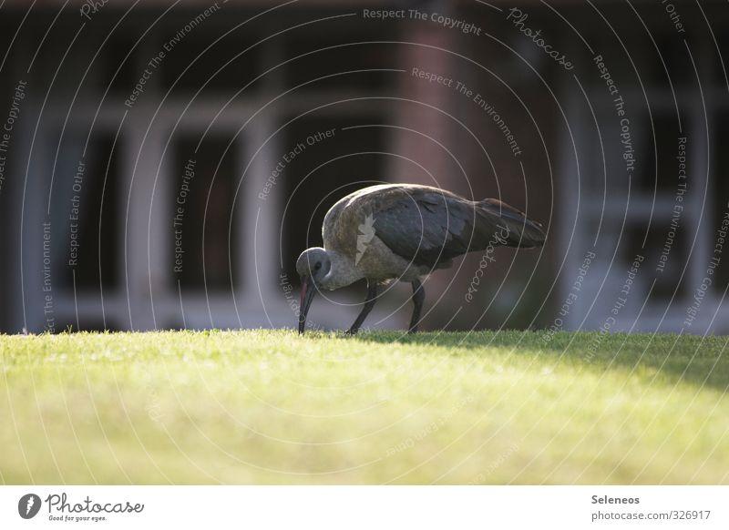 Hagedasch Natur Ferien & Urlaub & Reisen Tier Fenster Umwelt Wiese Gras Garten Vogel Park Wildtier Schönes Wetter Flügel Suche Tiergesicht Fressen