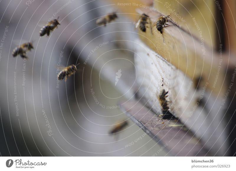 Es gibt immer was zu tun schön Tier Bewegung Essen Arbeit & Erwerbstätigkeit fliegen Geschwindigkeit ästhetisch Ausflug Völker Insekt Biene tragen Nutztier Schwarm Tatkraft