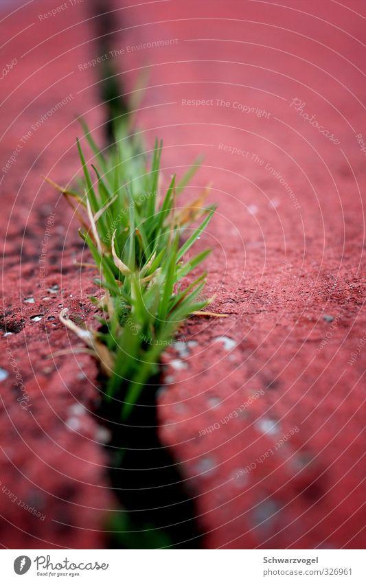 Punk is not dead Natur Pflanze grün rot Leben Gras Wachstum frei Kraft authentisch Erfolg einfach einzigartig Wandel & Veränderung Schutz Mut