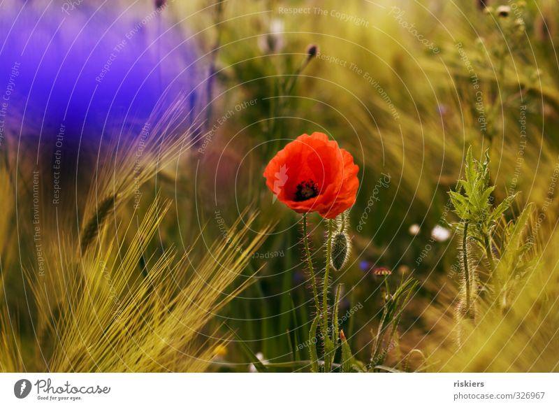 noch mehr summerfeeling... Umwelt Natur Landschaft Pflanze Sonne Sonnenaufgang Sonnenuntergang Sonnenlicht Sommer Schönes Wetter Blume Wildpflanze Mohn