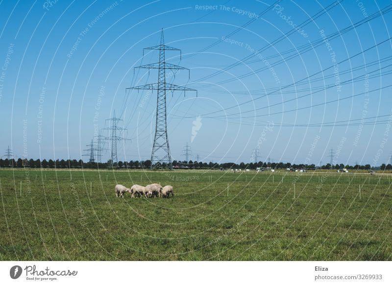 Strom und Schafe Nutztier Tiergruppe Herde grün Weide Strommast Blauer Himmel Landschaft Landwirtschaft Elektrizität Wiese Gras Farbfoto Außenaufnahme