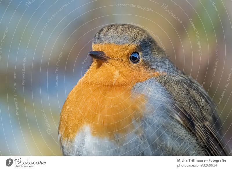 Rotkehlchen Portrait Natur Tier Sonne Sonnenlicht Schönes Wetter Wildtier Vogel Tiergesicht Flügel Kopf Schnabel Auge Feder gefiedert 1 beobachten glänzend