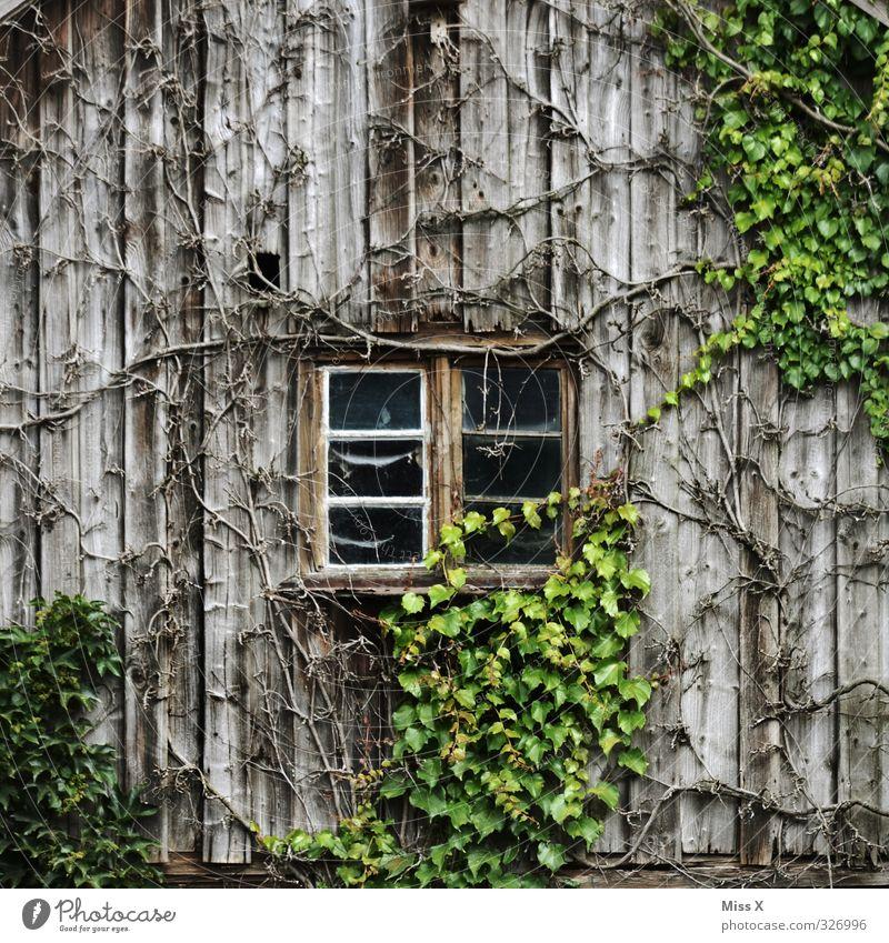 Fensterchen I alt Pflanze Blatt Fenster Wohnung Häusliches Leben Wachstum Sträucher Vergänglichkeit Hütte Verfall Holzbrett Unbewohnt Scheune Efeu Ranke