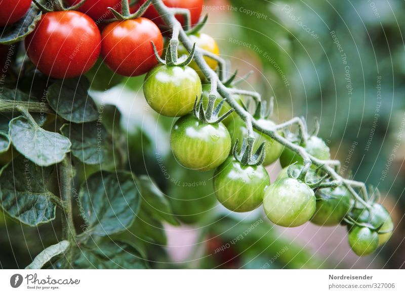 Tomatenzeit Natur Pflanze grün Sommer rot Gesundheit Garten Lebensmittel Wachstum frisch Ernährung Gemüse Ernte Bioprodukte mediterran Diät