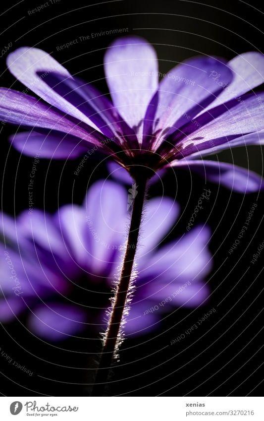 violette Anemone aus Froschperspektive Frühling Pflanze Blume Anemonen Frühlingsblume Stengel Strahlenanemone unten weich schwarz Xenias Außenaufnahme