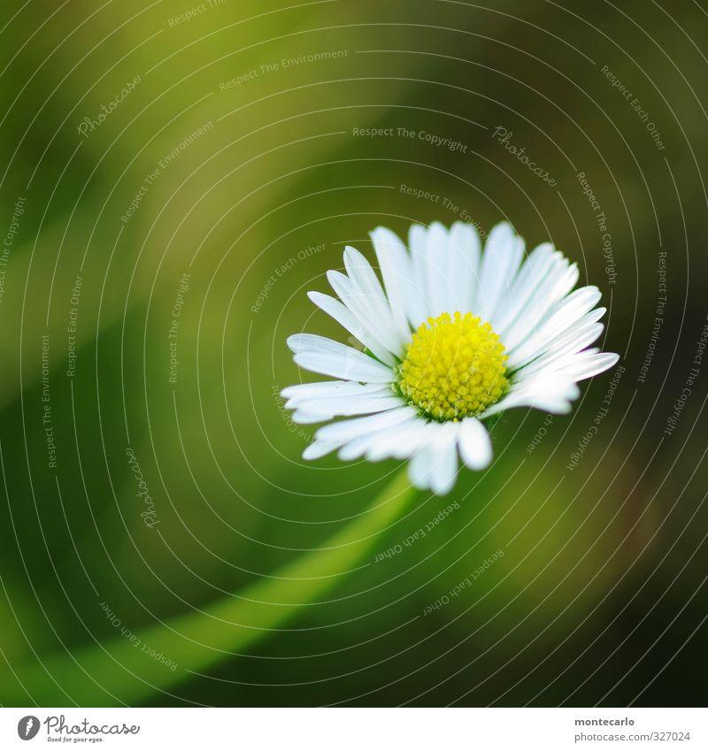 Sommeranfang Umwelt Natur Pflanze Blume Grünpflanze Wildpflanze Topfpflanze Margerite Duft dünn authentisch einfach frisch klein natürlich grün weiß Farbfoto