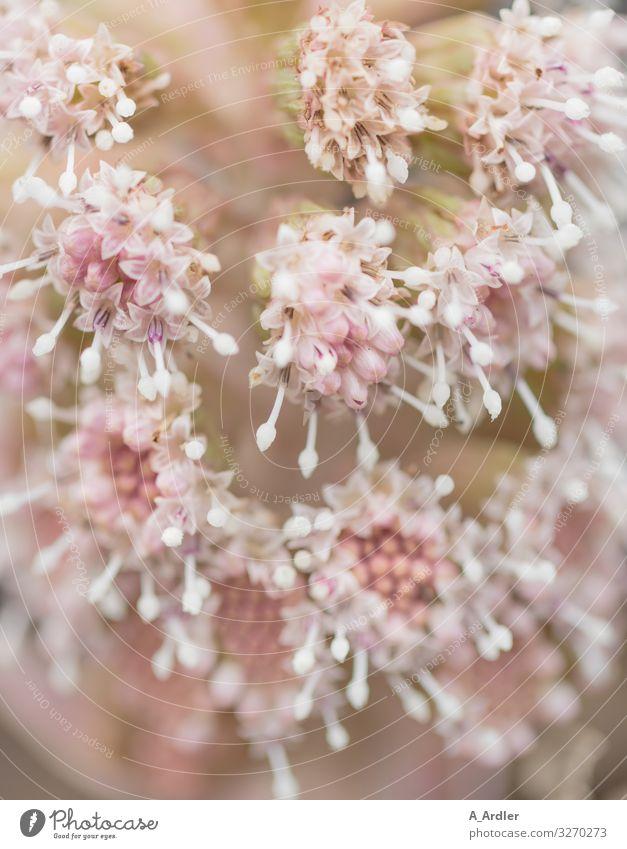 Die Blütenstände der gewöhnlichen Pestwurz (Petasites hybridus) Natur Pflanze Blume Wildpflanze Garten Blühend Duft schön natürlich rosa weiß Frühlingsgefühle