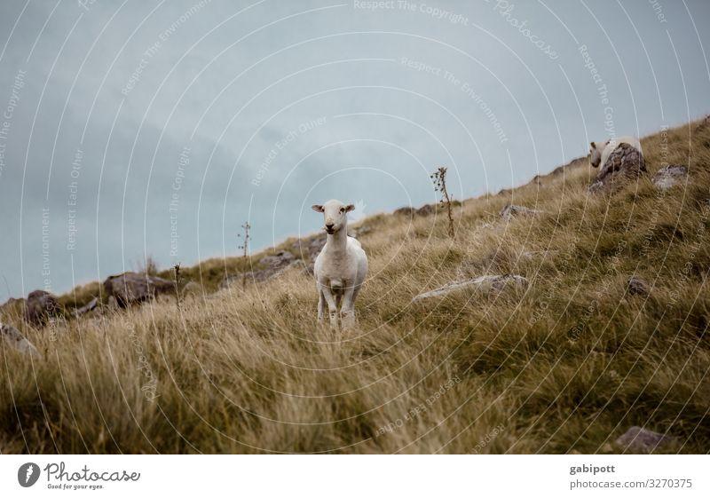 Walisische Mähmaschine Natur Urelemente Erde Himmel Sommer Wetter Nebel Wiese Hügel Berge u. Gebirge Wales Großbritannien Tier Nutztier Schaf 1 2
