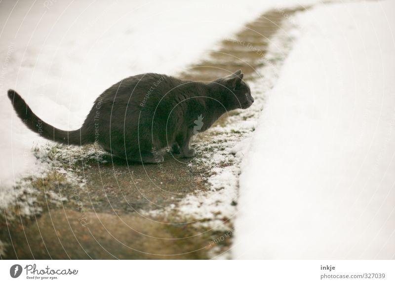 Schneegrenze Winter Garten Park Wege & Pfade Fußweg Tier Haustier Katze british kurzhaar Hauskatze 1 beobachten entdecken hocken Jagd springen kalt selbstbewußt