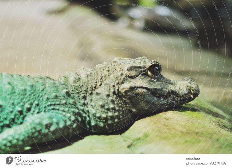 lieb gucken Krokodil Babykrokodil niedlich Reptil gefährlich Fressen Zähne Gebiss scharfe Zähne süß klein ungefährlich zutraulich Freundlichkeit Reptilium Zoo