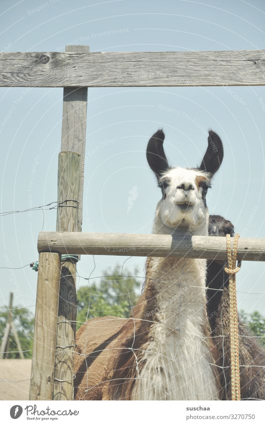 mal noch ein lama .. Lama Tier Haustier Nutztier Kamel spucken Blick Paarhufer tiergestützte Therapie Bauernhof Hof Weide Gehege Zaun Zaunpfahl Holzzaun Fell