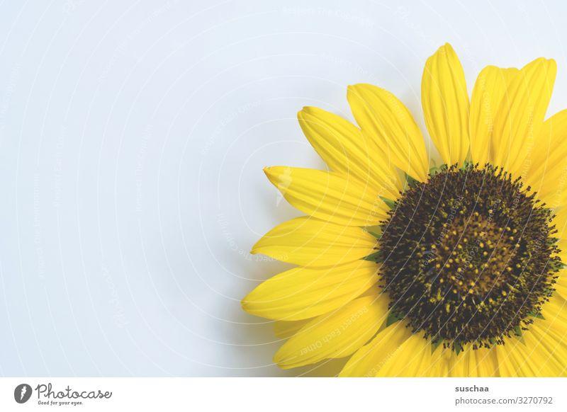 bisschen sonnenblume Blume Blüte Blütenblatt Sonnenblume Sommer Pflanze natürlich einzeln Vor hellem Hintergrund gelb Detailaufnahme einfach Textfreiraum