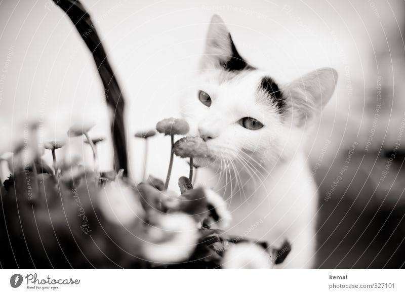 Verweile, und rieche an den Blumen Katze Pflanze ruhig Tier Auge Tierjunges niedlich Blühend Neugier Fell Ohr Tiergesicht Haustier Geruch Interesse