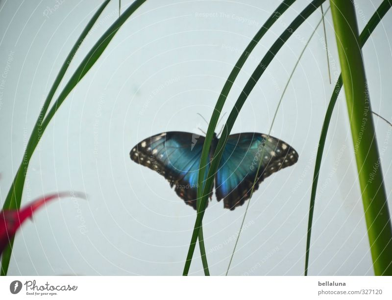 Blauer Himmelsfalter Blatt Grünpflanze exotisch Tier Wildtier Schmetterling Flügel 1 sitzen blau grün rot schwarz weiß Versteck verstecken Farbfoto