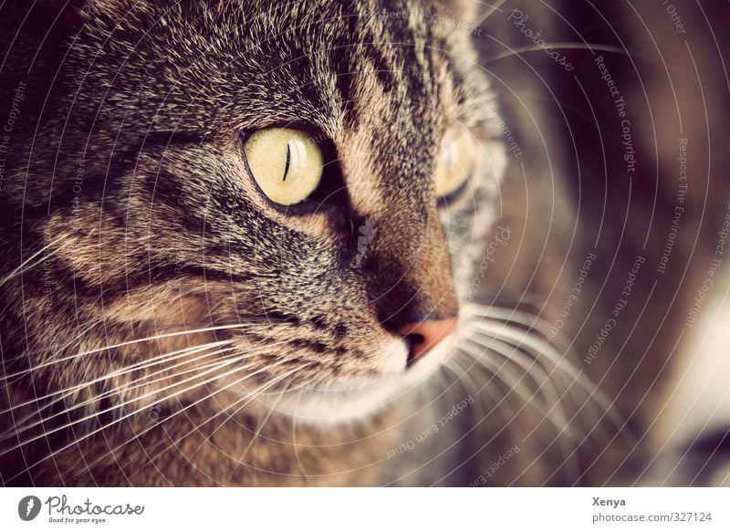 Lola Tier Haustier Katze 1 beobachten Neugier braun Warmherzigkeit ruhig Miau Auge Wachsamkeit wach Detailaufnahme Textfreiraum rechts Tag