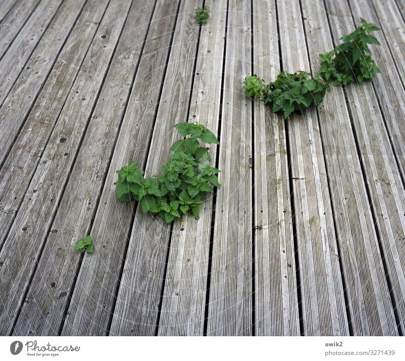 Finde die Lücke Pflanze Wildpflanze Brennnessel Holzbrett Bodenbelag Wachstum authentisch Zusammensein grau grün Lebensfreude Neugier unvermeidbar frech