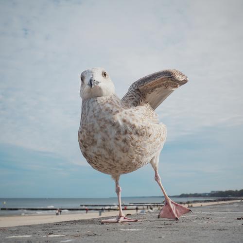 Dancing Queen Freude Glück Freizeit & Hobby Umwelt Natur Landschaft Himmel Wolken Horizont Schönes Wetter Küste Strand Ostsee Möwe 1 Tier Bewegung Blick