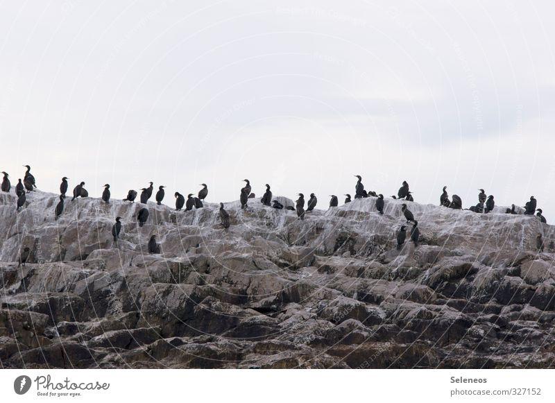 Vollversammlung Ferien & Urlaub & Reisen Tourismus Ausflug Umwelt Natur Felsen Küste Meer Tier Wildtier Vogel Tiergruppe Schwarm Zusammensein wild Kormoran