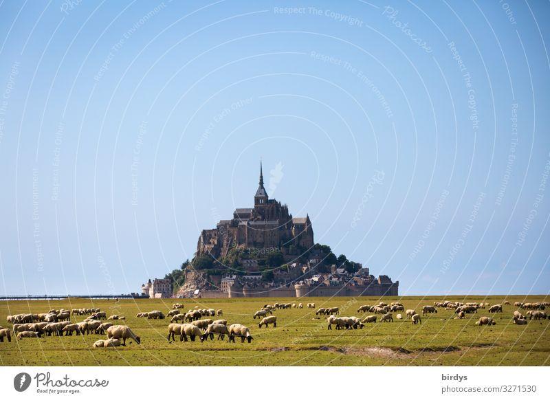 mont saint michel Landschaft Wolkenloser Himmel Sommer Schönes Wetter Wiese Hügel Felsen Frankreich Kirche Sehenswürdigkeit Insel Mont-Saint-Michel Nutztier