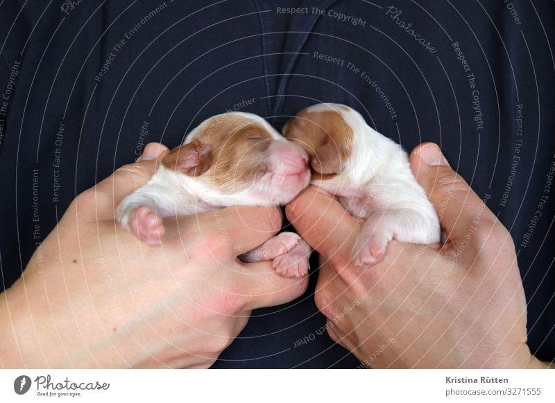 geschwisterwelpen maskulin Hand Tier Haustier Hund Tiergesicht Fell Pfote 2 Tierjunges festhalten klein niedlich Welpe neugeboren hilflos blind Rassehund