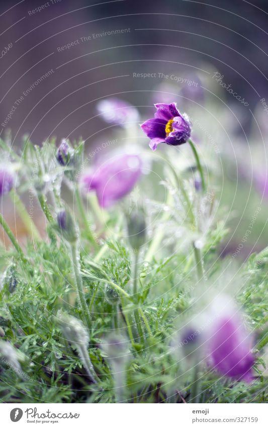 Dehnübung Umwelt Natur Pflanze Wassertropfen Frühling Blume Blüte natürlich grün violett Farbfoto Außenaufnahme Makroaufnahme Menschenleer Tag