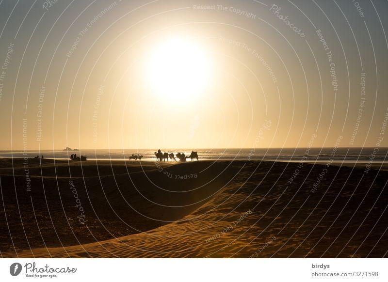 Kamele am Meer Ferien & Urlaub & Reisen Ausflug Sonne Strand Mensch Landschaft Sand Sonnenaufgang Sonnenuntergang Klimawandel Schönes Wetter Küste Atlantik