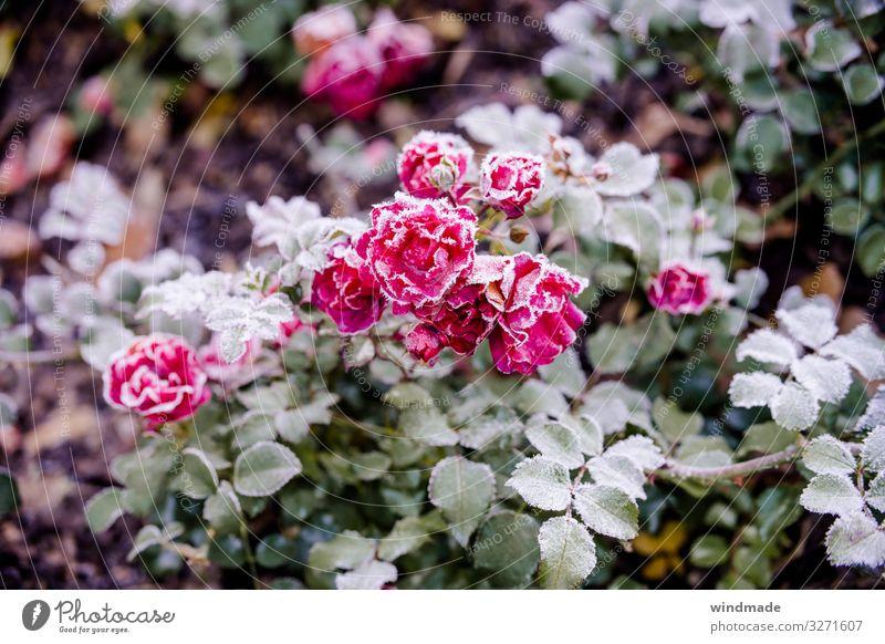 Rosenpflanze mit Raureif überzogen Frost Bodenfrost Herbst Außenaufnahme Farbfoto Nahaufnahme Pflanze kalt gefroren Natur Gedeckte Farben Bodendeckerrose pink