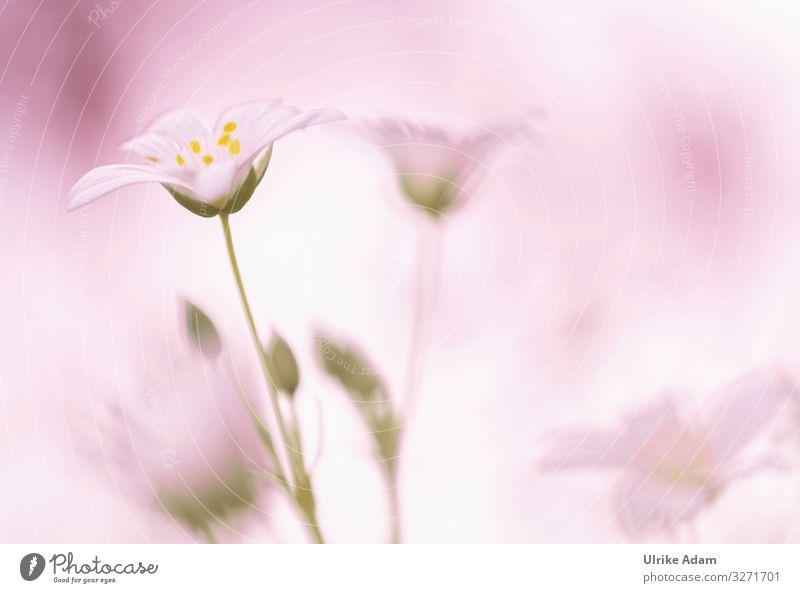Rosa Traum - Weiße Blüten der Sternmiere ( Stellaria ) mit rosa Hintergrund weiß Blumen Natur Nahaufnahme Pflanze schön Frühling Sommer Detailaufnahme natürlich