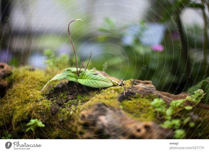 Ast - belebt Umwelt Natur Pflanze Baum Sträucher Blatt Grünpflanze natürlich grün Moos Farbfoto Außenaufnahme Makroaufnahme Menschenleer Tag
