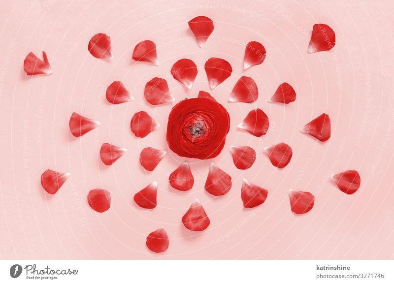 Rote Blumen auf rosa Hintergrund Design Dekoration & Verzierung Hochzeit Frau Erwachsene Mutter Rose hell rot Kreativität romantisch Ranunculus Textfreiraum