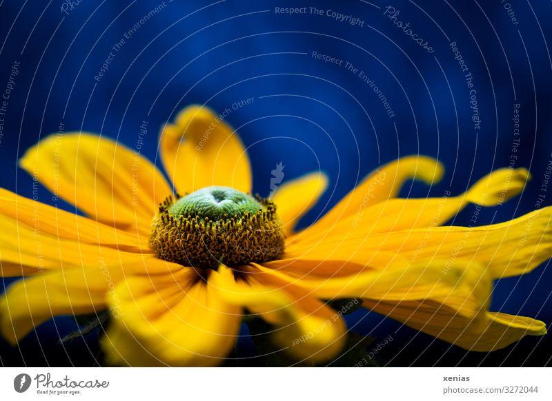 Große Blüte einer gelben Rudbeckia vor blauem Hintergrund Pflanze Blume Sonnenhut Blütenstauden Staubfäden Garten Blühend leuchten elegant schön grün Xenias