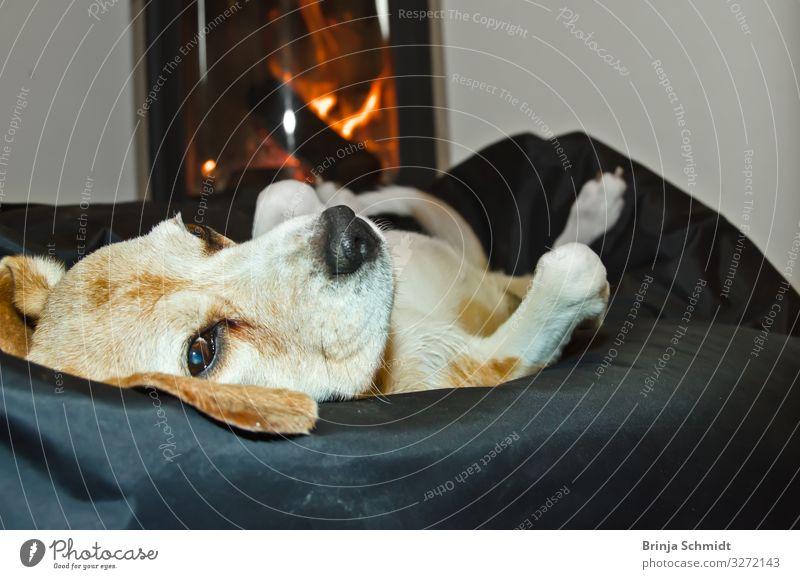 Ein Beagle liegt gemütlich vor dem Ofen Wohlgefühl Zufriedenheit Erholung ruhig Kamin Wohnzimmer Haustier Hund 1 Tier Feuer genießen liegen schlafen authentisch