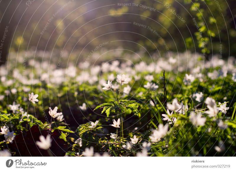 buschwindröschenwiese Umwelt Natur Pflanze Sonnenaufgang Sonnenuntergang Sonnenlicht Frühling Schönes Wetter Blume Buschwindröschen Park Wald Blühend leuchten