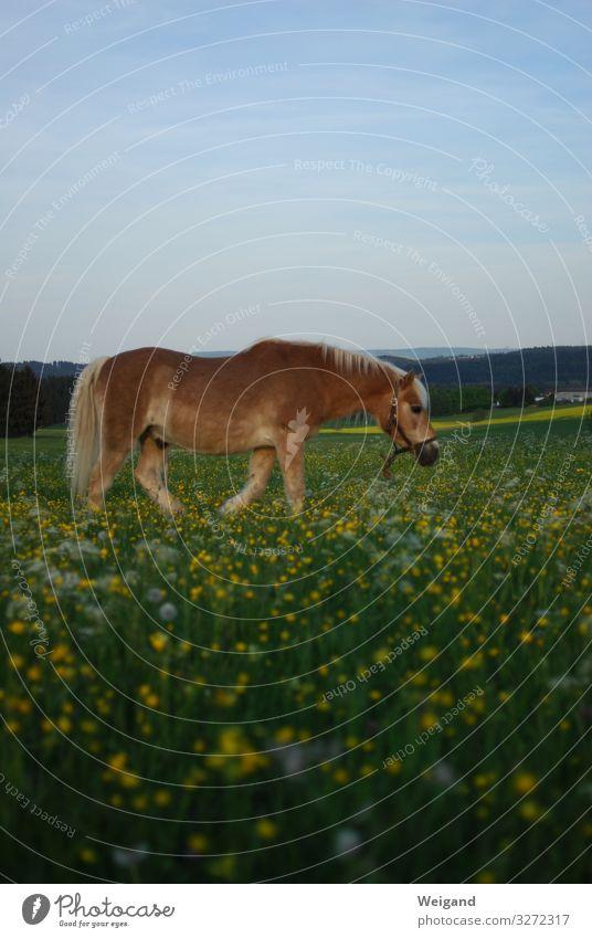 Pferd Sport Reiten Umwelt Landschaft 1 Tier Fitness nachhaltig Landwirtschaft Farbfoto Außenaufnahme Textfreiraum oben Textfreiraum unten