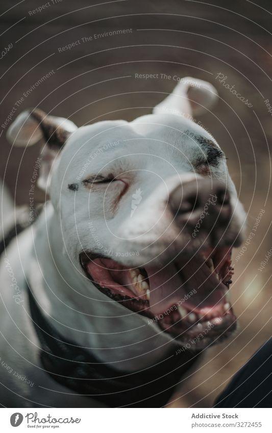 Glücklicher Diensthund verbringt Zeit auf der Straße Hund Mitarbeiter Pflege Haustier Tier heimisch treu freundlich Lifestyle schlendern züchten Eckzahn