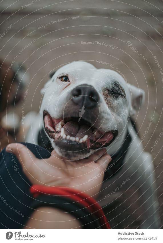 Glücklicher Diensthund genießt Pflege auf der Straße Hund Kraulen Mitarbeiter Haustier Tier heimisch treu Zuneigung Lifestyle schlendern züchten Eckzahn