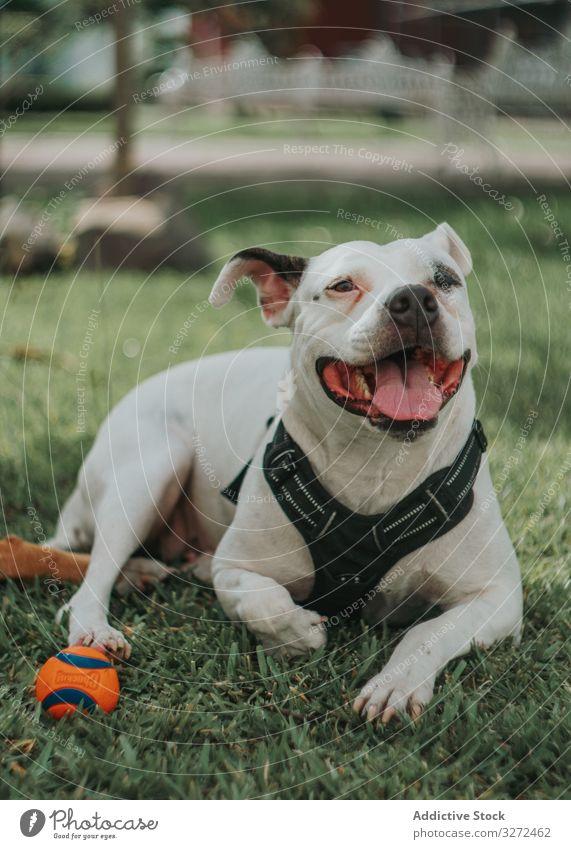 Bezaubernder Hund spielt mit Ball auf der Straße Spiel staffordshire Tier Haustier heimisch spielen Lifestyle züchten Eckzahn Kabelbaum Wirbeltier gehorsam