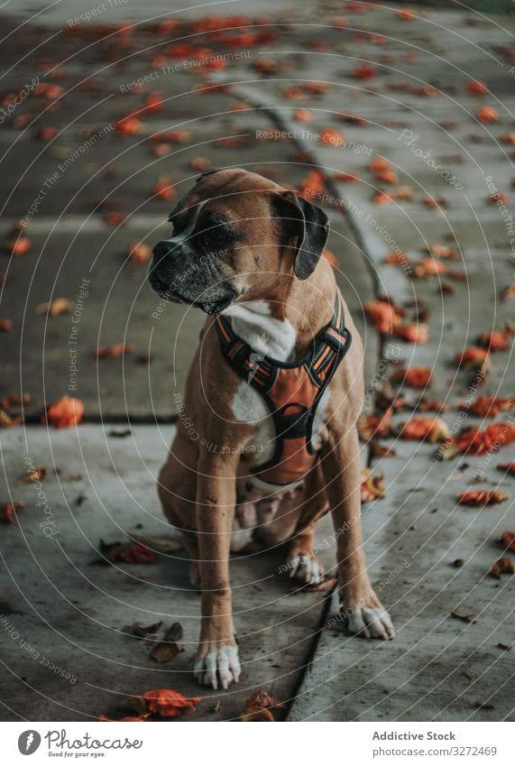 Haushund sitzt auf der Straße Hund Boxer Tier Haustier heimisch ernst fallen Lifestyle züchten Eckzahn Kabelbaum Wirbeltier gehorsam Spaziergang urban Säugetier
