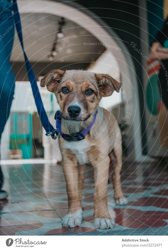 Ruhiger Mischlingshund geht im Gebäude spazieren Hund Welpe Porträt Haustier heimisch Lifestyle Tier Eckzahn Wirbeltier gehorsam anleinen Säugetier schlendern