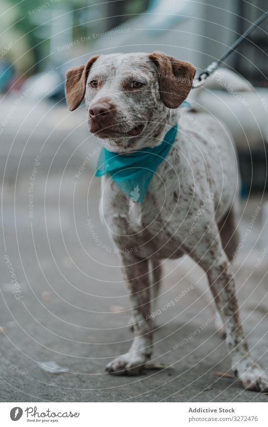 Schwerer Mischlingshund auf der Straße Hund Haustier Porträt ernst heimisch Lifestyle Tier Eckzahn Wirbeltier gehorsam Säugetier Windstille schlendern