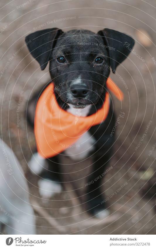 Ruhiger schwarzer Hund sitzt auf der Straße Haustier Welpe Porträt ernst heimisch Lifestyle Mischling Tier Eckzahn Wirbeltier gehorsam Säugetier Windstille