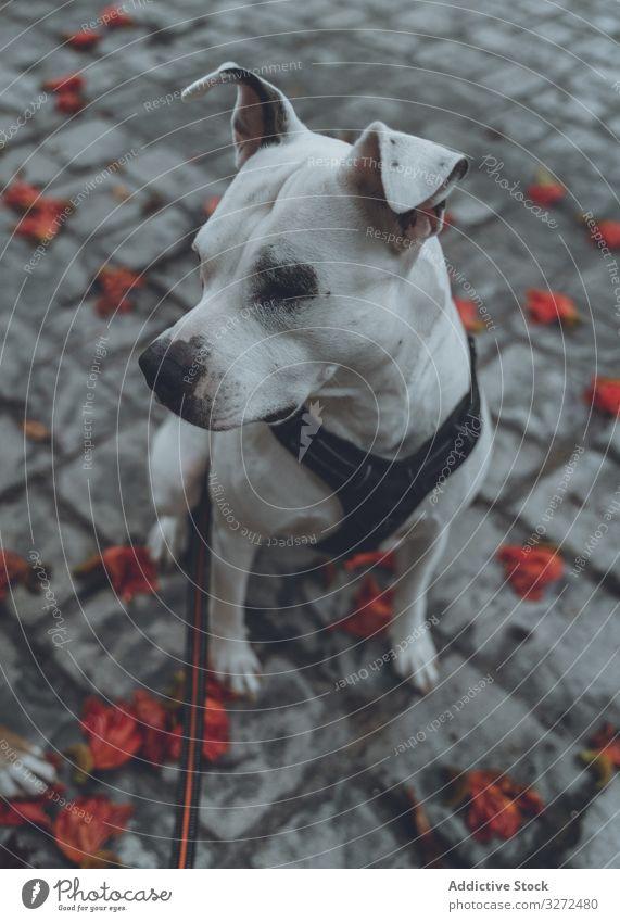 Haushund sitzt auf der Straße Hund staffordshire Spaziergang Tier Haustier heimisch Lifestyle fallen züchten ernst Eckzahn Kabelbaum Wirbeltier gehorsam Terrier
