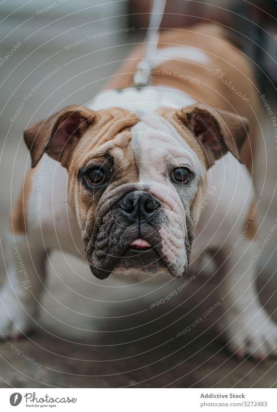 Englische Bulldogge am Boden sitzend Hund Porträt Haustier Straße heimisch Lifestyle Tag Tier Eckzahn Sommer Wirbeltier gehorsam Säugetier Windstille ernst