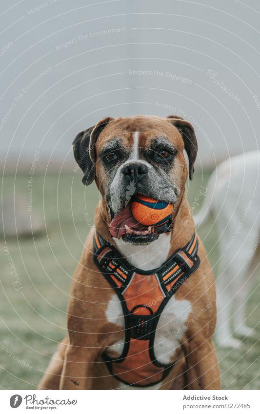 Freundlicher Hund spielt mit dem Ball auf der Straße spielen Boxer Tier Haustier heimisch Lifestyle züchten Eckzahn Kabelbaum Wirbeltier gehorsam Spaziergang