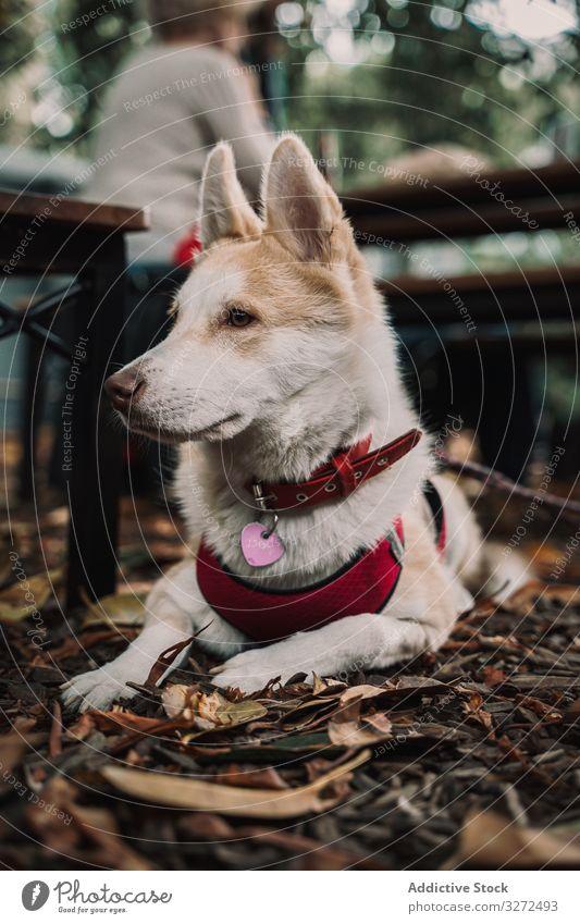 Liebenswerter Mischlingshund auf der Straße am Boden liegend Hund Lügen niedlich Anzug Haustier Porträt bezaubernd Feiertag Kragen Lifestyle Tier Eckzahn